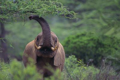 African Elephant Grazing on Tree-DLILLC-Photographic Print