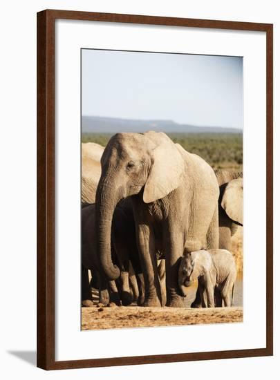 African elephant herd , Addo Elephant Nat'l Park, Eastern Cape, South Africa, Africa-Christian Kober-Framed Photographic Print