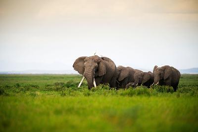 African Elephant Herd at Sunset in Amboseli National Park, Kenya-Santosh Saligram-Photographic Print