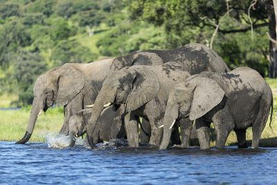 African Elephant Herd, Chobe National Park, Botswana-Paul Souders-Photographic Print