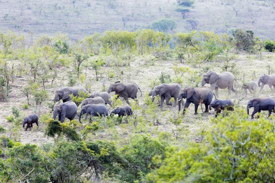 African elephant herd, , Hluhluwe-Imfolozi Park, Kwazulu-Natal, South Africa, Africa-Christian Kober-Photographic Print
