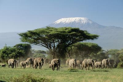 African Elephant Herd Infront of Mt, Kilimanjaro--Photographic Print