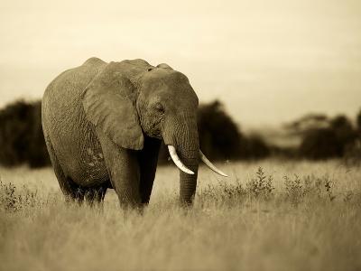 African Elephant in Amboseli National Park, Kenya-Santosh Saligram-Photographic Print