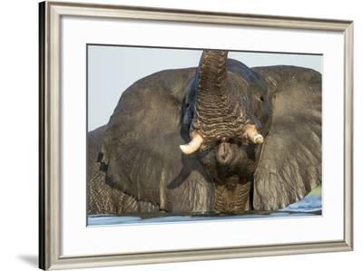 African Elephant in Chobe River, Chobe National Park, Botswana-Paul Souders-Framed Photographic Print