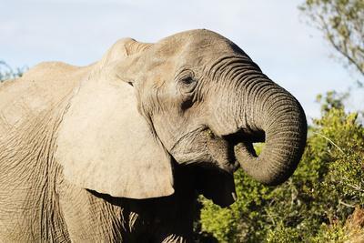 https://imgc.artprintimages.com/img/print/african-elephant-loxodonta-africana-addo-elephant-nat-l-park-eastern-cape-south-africa-africa_u-l-q1bofm20.jpg?p=0