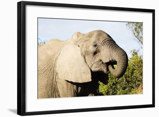African elephant (Loxodonta Africana), Addo Elephant Nat'l Park, Eastern Cape, South Africa, Africa-Christian Kober-Framed Photographic Print