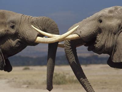 African Elephant (Loxodonta Africana) Bulls Engaged in Greeting Ritual, Amboseli, Kenya-Gerry Ellis-Photographic Print