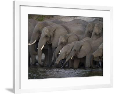 African Elephant, Loxodonta Africana, Chobe National Park, Chobe River, Botswana, Africa-Thorsten Milse-Framed Photographic Print