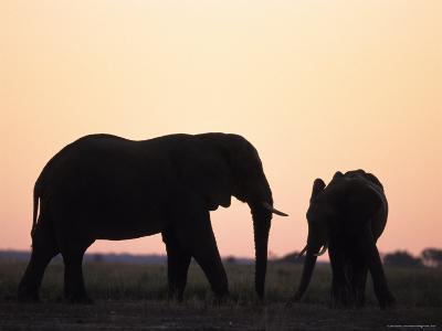African Elephant, (Loxodonta Africana), Chobe River, Chobe National Park, Botswana-Thorsten Milse-Photographic Print