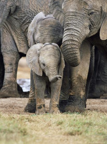 African Elephant, Loxodonta Africana, Greater Addo National Park, South Africa, Africa-Ann & Steve Toon-Photographic Print