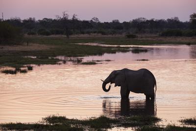 African Elephant (Loxodonta Africana), Khwai Concession, Okavango Delta, Botswana, Africa-Sergio Pitamitz-Photographic Print
