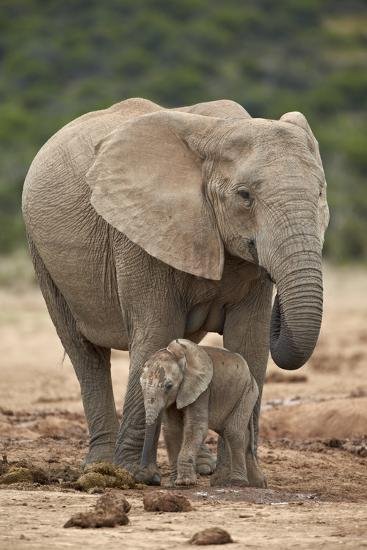 African Elephant (Loxodonta Africana) Mother and Baby-James Hager-Photographic Print