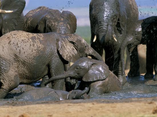 African Elephant (Loxodonta Africana) Mudbathing, Addo National Park, South Africa, Africa-Steve & Ann Toon-Photographic Print