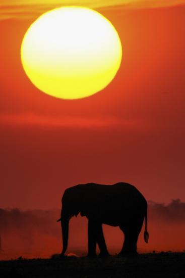 African Elephant (Loxodonta Africana) Silhouetted Against Orange Sky, Chobe River, Botswana-Lou Coetzer-Photographic Print