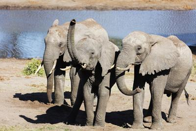 https://imgc.artprintimages.com/img/print/african-elephant-loxodonta-africana-tembe-elephant-park-kwazulu-natal-south-africa-africa_u-l-q1boeq80.jpg?p=0