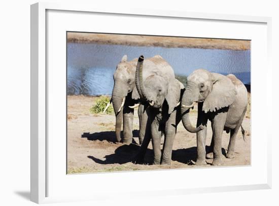 African elephant (Loxodonta Africana), Tembe Elephant Park, Kwazulu-Natal, South Africa, Africa-Christian Kober-Framed Photographic Print