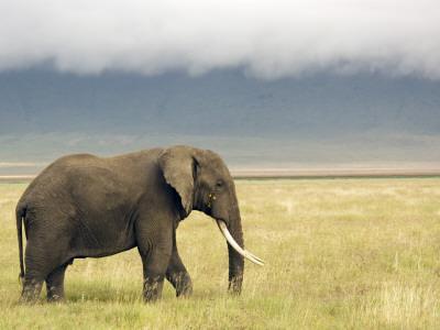 https://imgc.artprintimages.com/img/print/african-elephant-loxodonta-africana_u-l-pd66210.jpg?p=0