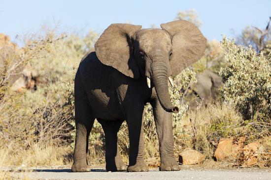 African elephant , Mapungubwe Nat'l Park, UNESCO World Heritage Site, Limpopo, South Africa, Africa-Christian Kober-Photographic Print