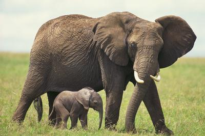 https://imgc.artprintimages.com/img/print/african-elephant-mother-and-young-in-grass_u-l-pzrbsz0.jpg?p=0