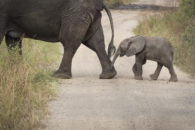 African Elephant, Queen Elizabeth National Park, Uganda, Africa-Janette Hill-Photographic Print