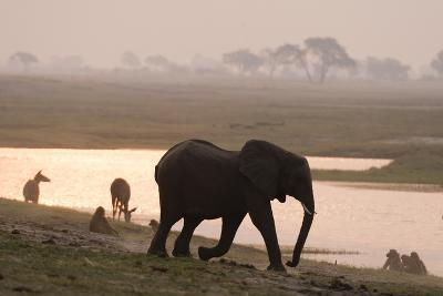 African Elephant Running to the River-Sergio Pitamitz-Photographic Print