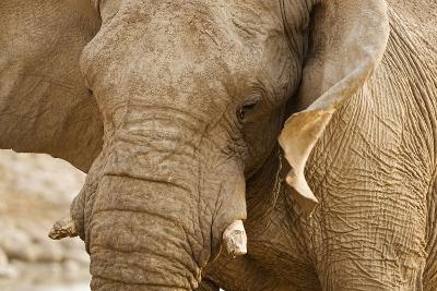 African Elephant Side Profile Portrait--Photographic Print