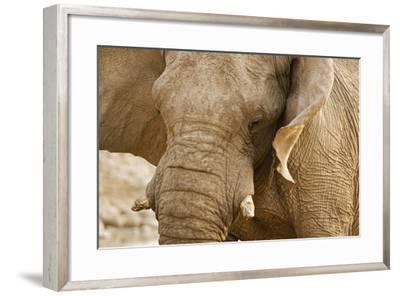 African Elephant Side Profile Portrait--Framed Photographic Print