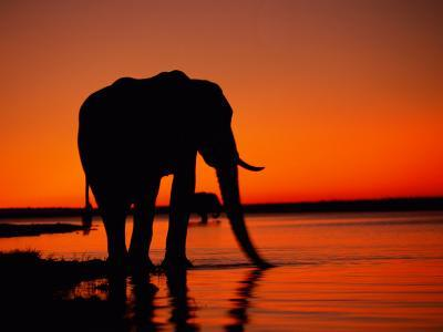African Elephant Silhouetted at Twilight-Beverly Joubert-Photographic Print