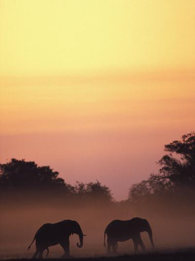 African Elephant Taking a Dust Bath at Sunset-Beverly Joubert-Photographic Print