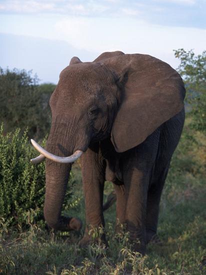 African Elephant, Tanzania-D^ Robert Franz-Photographic Print