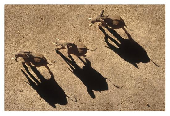African Elephant trio aerial with shadows, Africa-Tim Fitzharris-Art Print