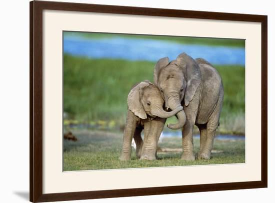 African Elephant Two Calves with Trunks Together--Framed Photographic Print