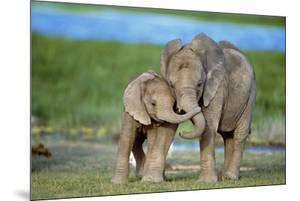 African Elephant Two Calves with Trunks Together