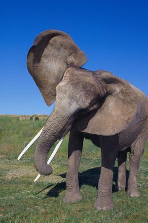 African Elephant Wagging Ears-DLILLC-Photographic Print