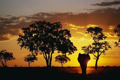 African Elephant Walking at Sunset--Photographic Print