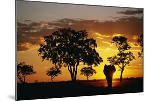 African Elephant Walking at Sunset
