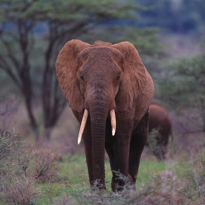 https://imgc.artprintimages.com/img/print/african-elephant-walking_u-l-pzvm7v0.jpg?p=0
