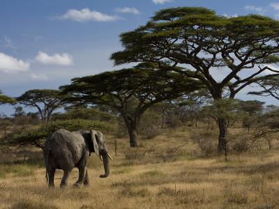 African Elephant Walks Among Acacia Trees-Ralph Lee Hopkins-Photographic Print