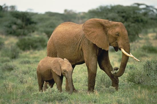 African Elephant with Calf-DLILLC-Photographic Print