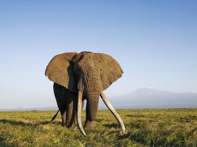 African Elephant with Large Tusks-Martin Harvey-Photographic Print