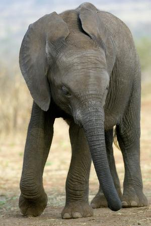 https://imgc.artprintimages.com/img/print/african-elephant_u-l-pzfd4j0.jpg?p=0