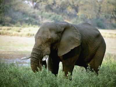 African Elephant--Photographic Print