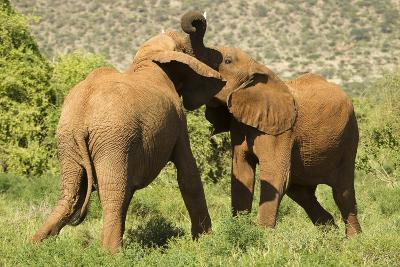 African Elephant-Mary Ann McDonald-Photographic Print
