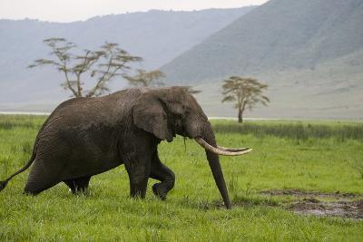 African Elephant-DLILLC-Photographic Print