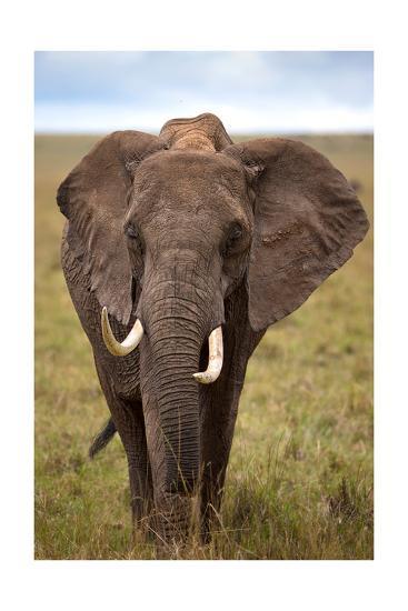 African Elephant-Lantern Press-Art Print