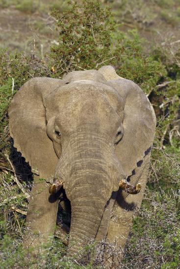 African Elephants 008-Bob Langrish-Photographic Print