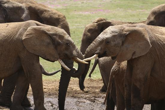 African Elephants 049-Bob Langrish-Photographic Print