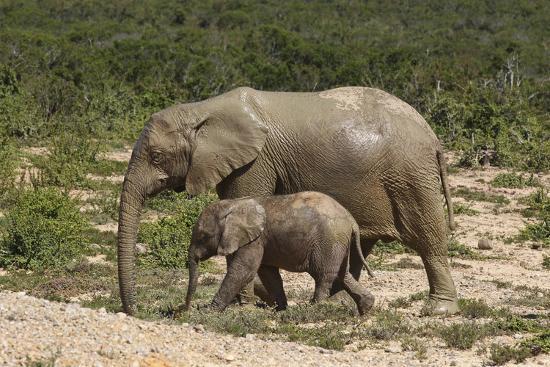 African Elephants 055-Bob Langrish-Photographic Print