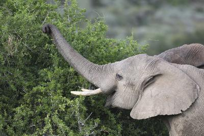 African Elephants 083-Bob Langrish-Photographic Print