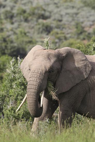 African Elephants 085-Bob Langrish-Photographic Print